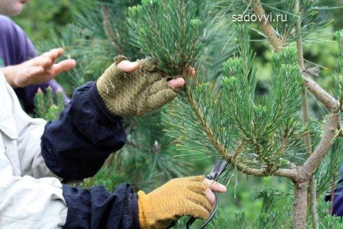 Садовый бонсай (ниваки) своими руками на примере сосны Обустройство загородного дома и участка своими руками