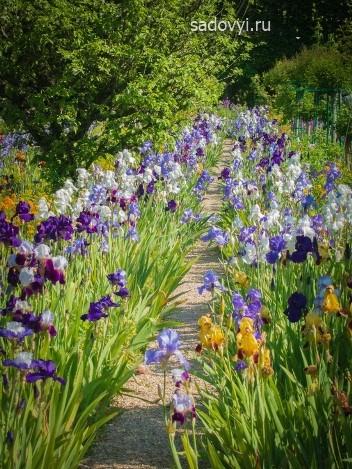 ирисы в саду, оформление рабатки