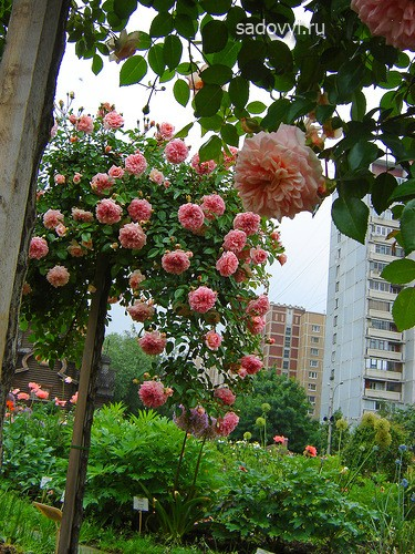 розы, сформированные на штамбе