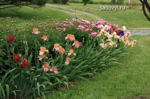 клумбы с ирисами в саду