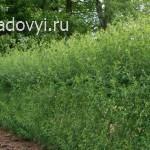 создание живой изгороди и заборов из ивы в саду