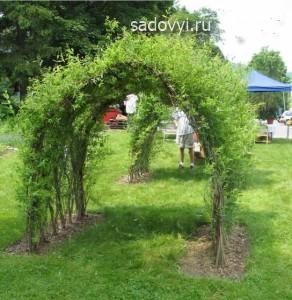 Создание живой изгороди, арок и беседок из ивы