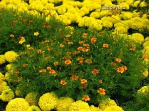 бархатцы в саду, 9 фото красивых клумб