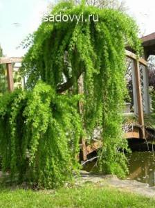 плакучие формы деревьев, обрезка и формирование кроны