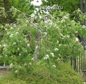 плакучие деревья в саду, формирование кроны