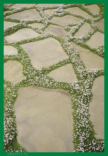 Купите семена мшанки, посейте и на следующий год к середине лета получите такой покров!