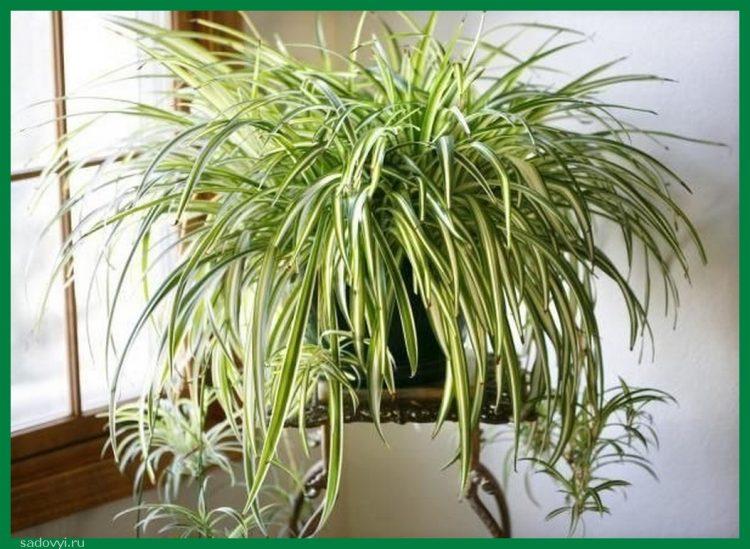 Это растение прекрасно очищает воздух от формальдегидов, угарного газа и прочего вредного!