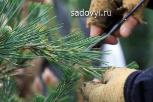 формирование садового бонсай из сосны своими руками