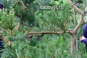 как сделать садовый бонсай ниваки своими руками, формирование