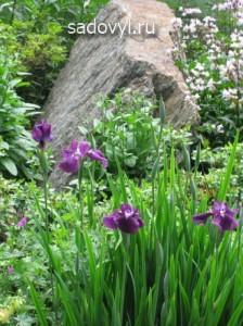 ирисы в саду в альпинариях