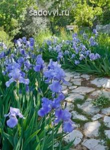 ирисы в саду, советы как оформить клумбы