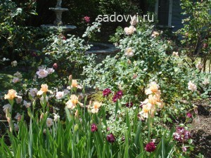 ирисы и розы в саду, оформление клумбы