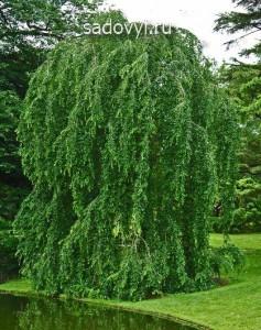 плакучая ива в саду, формирование кроны