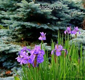 ирисы в саду, оформление цветников