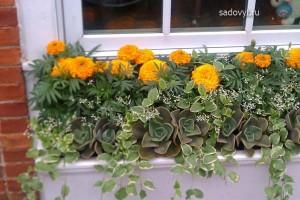 выращивание бархатцев в саду, красивые клумбы