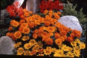 выращивание бархатцев в саду, оформление клумбы