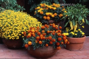 бархатцы в саду, выращивание, красивые клумбы