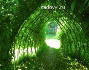 создание живой изгороди , арок и беседок из ивы