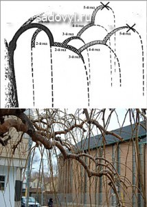формирование плакучей формы дерева
