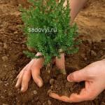 tree planting - Обустройство загородного дома и участка своими руками - Посадка хвойных деревьев на участке. Советы и секреты. Видео