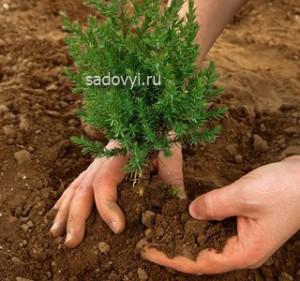 посадка хвойных деревьев на участке секреты советы