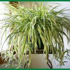 O3IxgxKrYG0 - Обустройство загородного дома и участка своими руками - Это растение прекрасно очищает воздух от формальдегидов, угарного газа и прочего вредного!