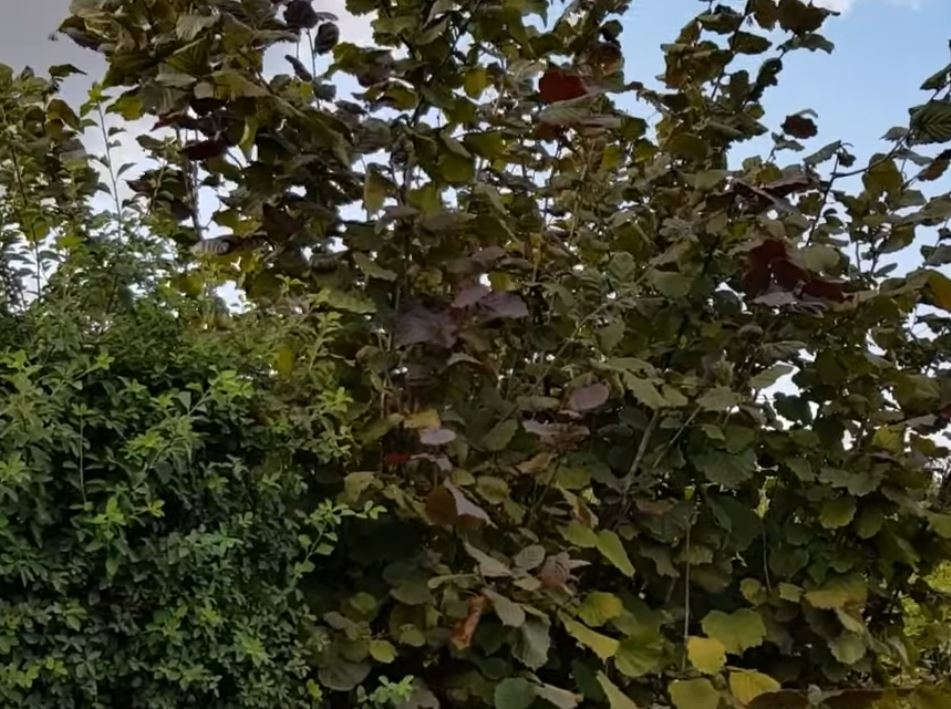 - Обустройство загородного дома и участка своими руками - Лучшие кустарники для ЖИВОЙ ИЗГОРОДИ: примеры посадок (видео)