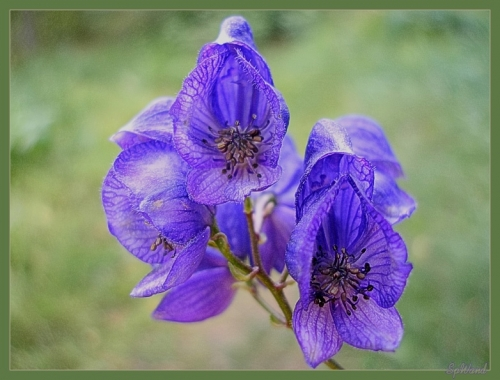 89228740 akonit - Обустройство загородного дома и участка своими руками - Ядовитые растения в вашем саду