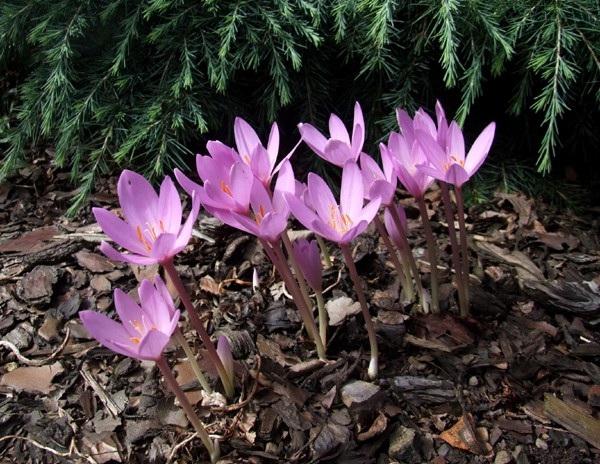 89228781 kolhikum - Обустройство загородного дома и участка своими руками - Ядовитые растения в вашем саду