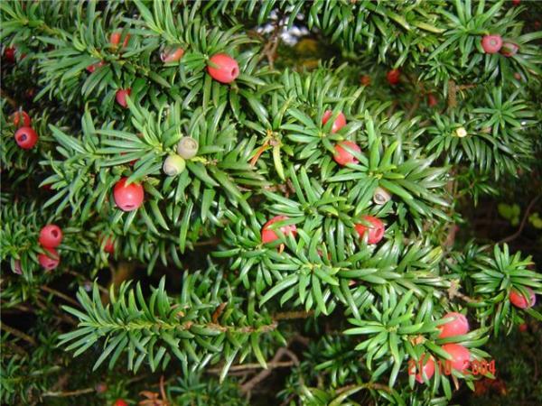 89228895 tiss - Обустройство загородного дома и участка своими руками - Ядовитые растения в вашем саду
