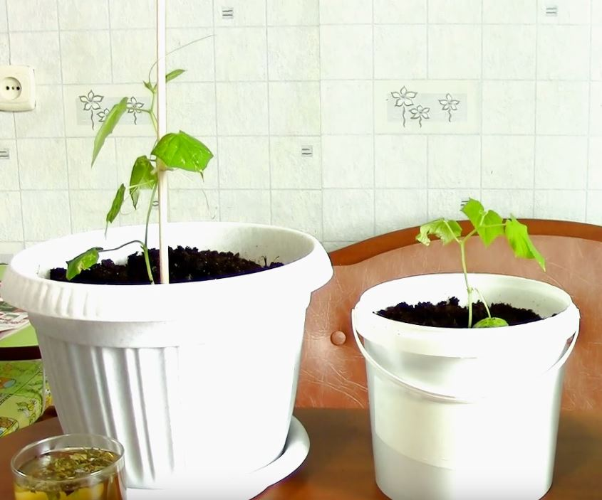 - Обустройство загородного дома и участка своими руками - Всегда поливайте рассаду этим. Секретный способ