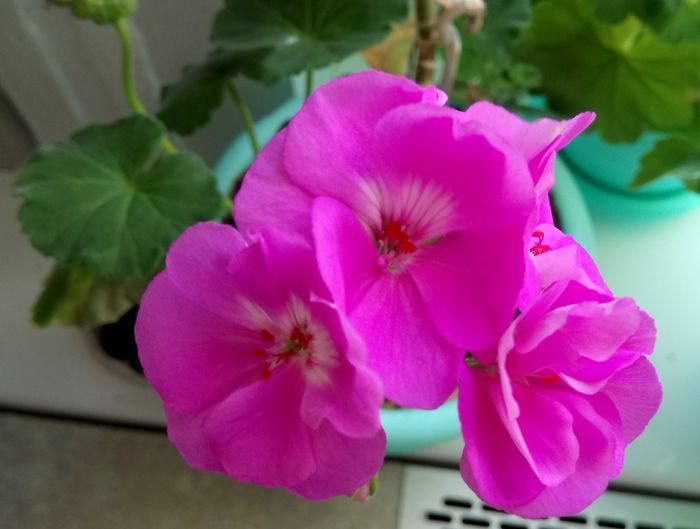 pelargoniia geran tsvetochki - Обустройство загородного дома и участка своими руками - Почему герань не цветет (видео)
