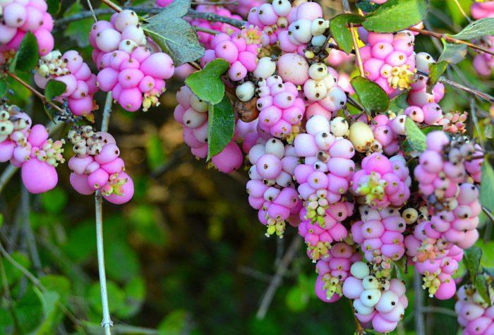 sazhentsy Dorenboza Mazer of Perl2 - Обустройство загородного дома и участка своими руками - Засухоустойчивый сад - растения для сада, многолетники