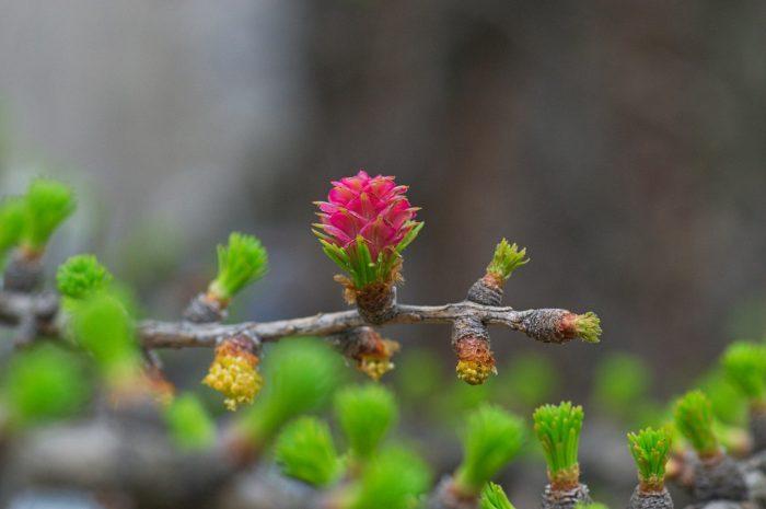 2 - Обустройство загородного дома и участка своими руками - Молодые побеги лиственницы