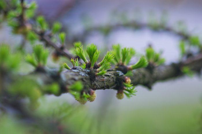 4 - Обустройство загородного дома и участка своими руками - Молодые побеги лиственницы