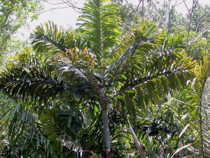 6 - Обустройство загородного дома и участка своими руками - Удивительное дерево, над загадкой которого ученые бьются до сих пор