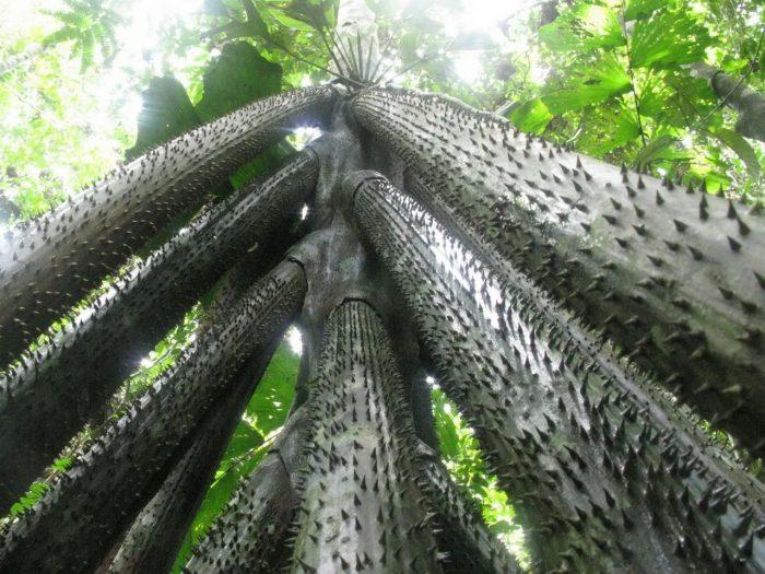 7 - Обустройство загородного дома и участка своими руками - Удивительное дерево, над загадкой которого ученые бьются до сих пор