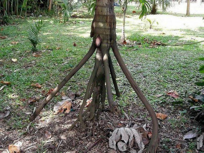 8 - Обустройство загородного дома и участка своими руками - Удивительное дерево, над загадкой которого ученые бьются до сих пор