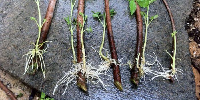 root banner 1200x - Обустройство загородного дома и участка своими руками - Натуральные стимуляторы образования корней